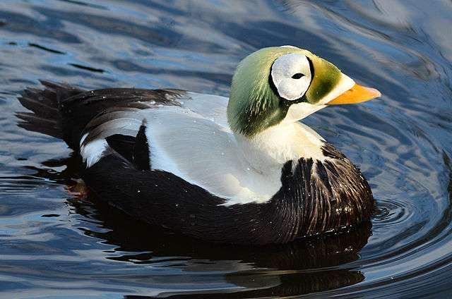 Les étangs de la pointe Barrow, en Alaska, sont une source de nourriture et de nidification pour des espèces menacées, tel l'eider à lunettes (Somateria fischeri). © Olaf Oliviero Riemer, Wikimedia Commons, cc by sa 3.0
