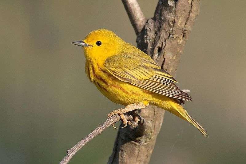 Paruline jaune.