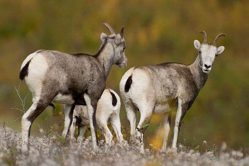 Groupe de mouflons de Dall. © Joe n bloe - domaine public