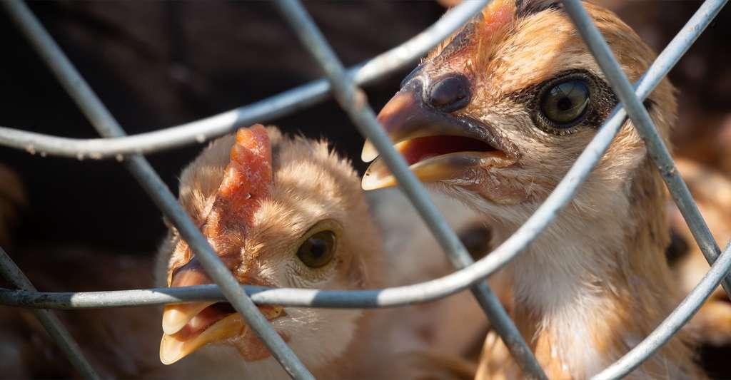 Les cas de grippe aviaire détectés chez nos voisins européens sont de type H5N8, un virus qui n'est pas connu pour infecter l'Homme. © pieter, Shutterstock