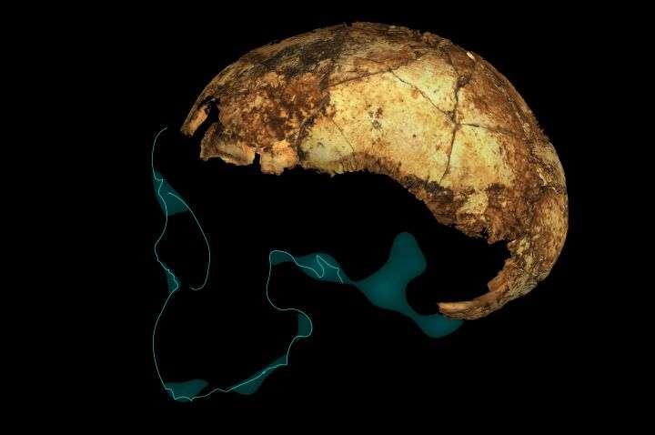 Le fossile d'Homo erectus DNH 134 avec projection stylisée du contour du reste du crâne. © Andy Herries, Jesse Martin et Renaud Joannes-Boyau