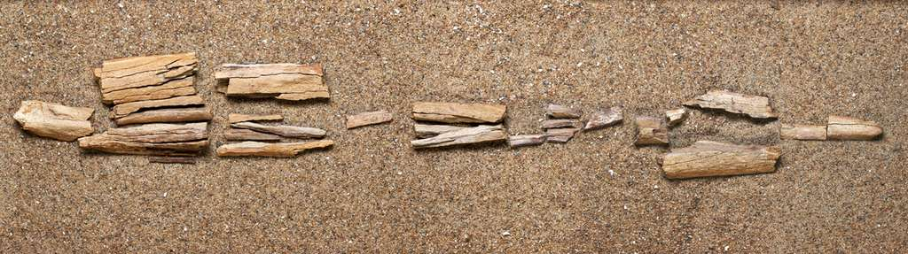 Les ossements fossiles du dromadaire géant trouvés sur l'île d'Ellesmere, dans le nord du Canada. Cet animal y vivait voilà 3,5 millions d'années, quand la région était recouverte d'une forêt boréale. Les restes fossiles se composent d'environ 30 fragments d'os, qui forment une partie du tibia du dromadaire. C'est la découverte la plus septentrionale de ce type, environ 1.200 km plus au nord que le dromadaire du Yukon. © Martin Lipman, Canadian Museum of Nature