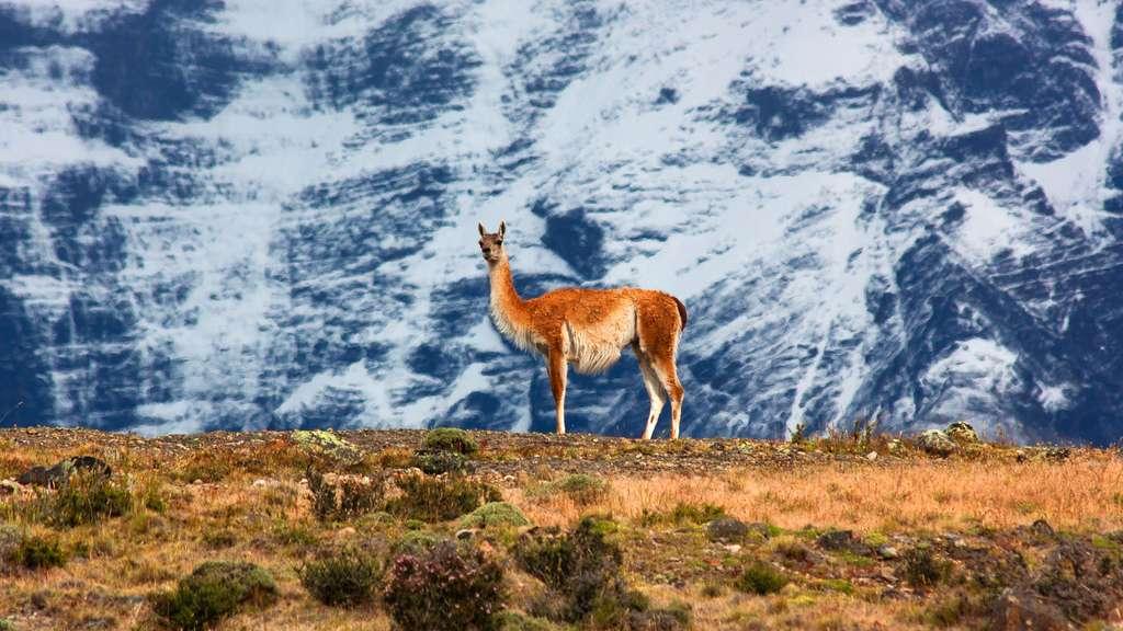 Le guanaco, un lama voyageur