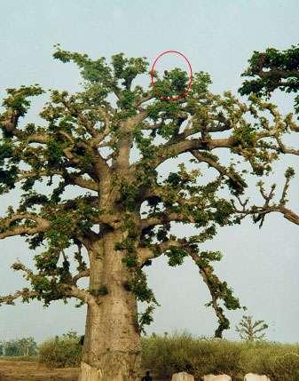 Émondage d'un baobab par un jeune berger (Sénégal). © S. Garnaud - Reproduction et utilisation interdites