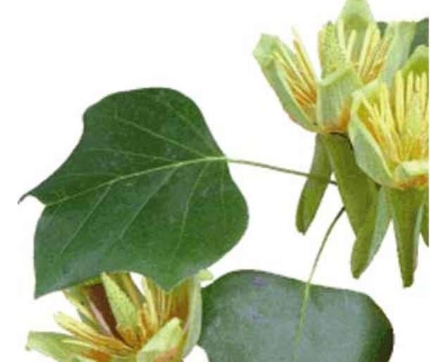 Plante à fleur (angiosperme) : tulipier. © BBC