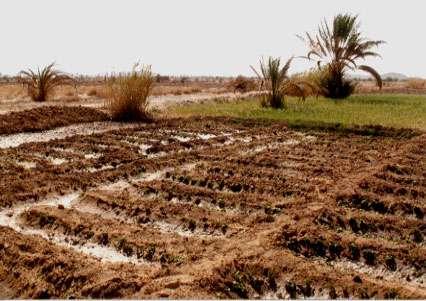 Palmeraie de Jorf (Maroc). Succès de cette parcelle irriguée de Gombo