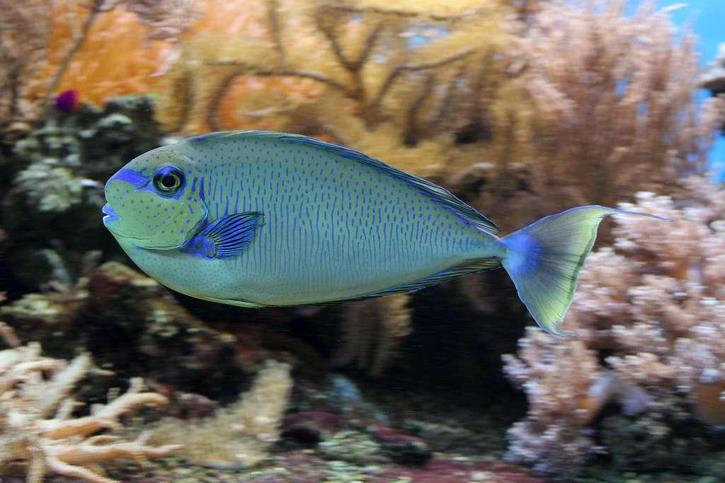 Le poisson licorne à gros nez
