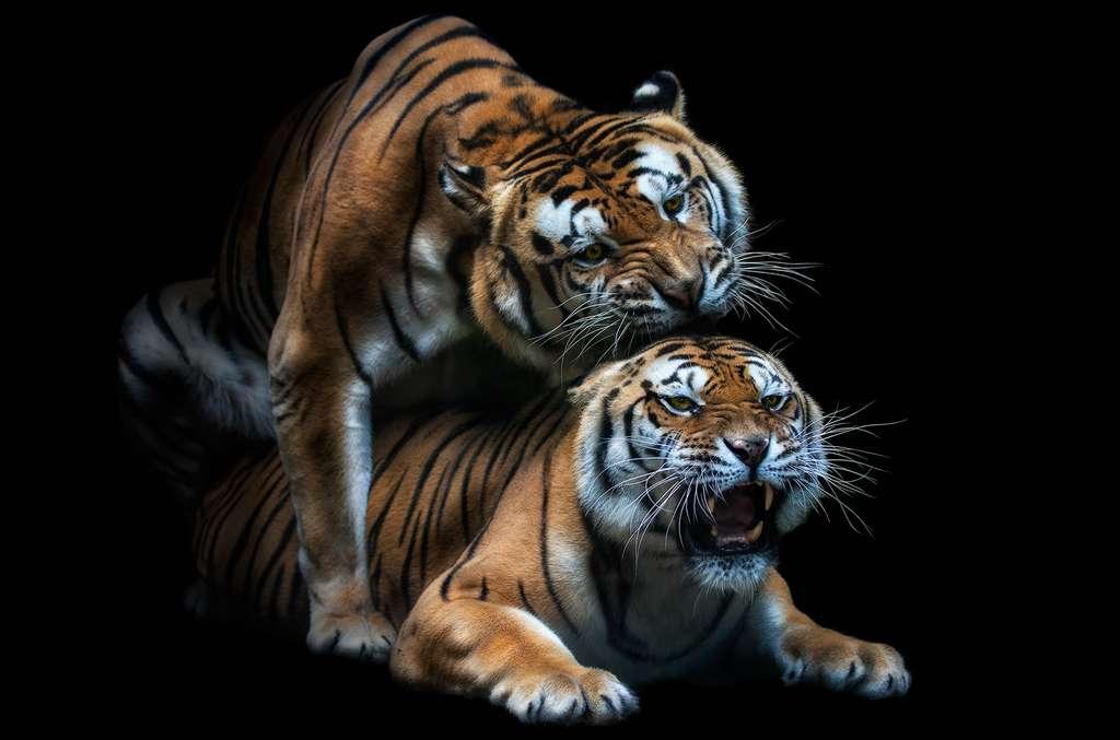 Le tigre du Bengale, une espèce en danger