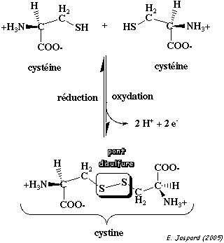 Formation de cystéine.