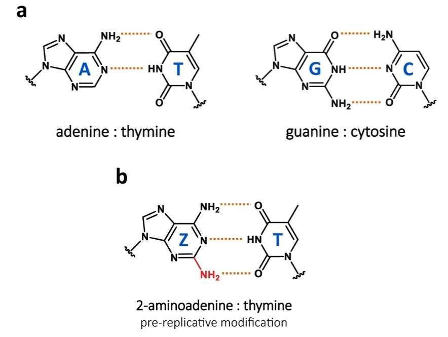 Les deux liaisons « classiques » de l'ADN (adénine-thymine et guanine-cytosine), et la liaison précurseur de Z-T (2-aminoadenine-thymine). Cette dernière est plus stable que A-T car elle possède trois liaisons hydrogènes au lieu de deux. © Pierre-Alexandre Kaminski et al., Nature Communications, 2021