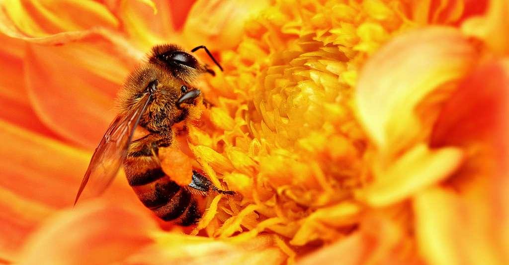 L'abeille africaine, ou abeille tueuse. © Sajjad Fazel, CC by-sa 3.0