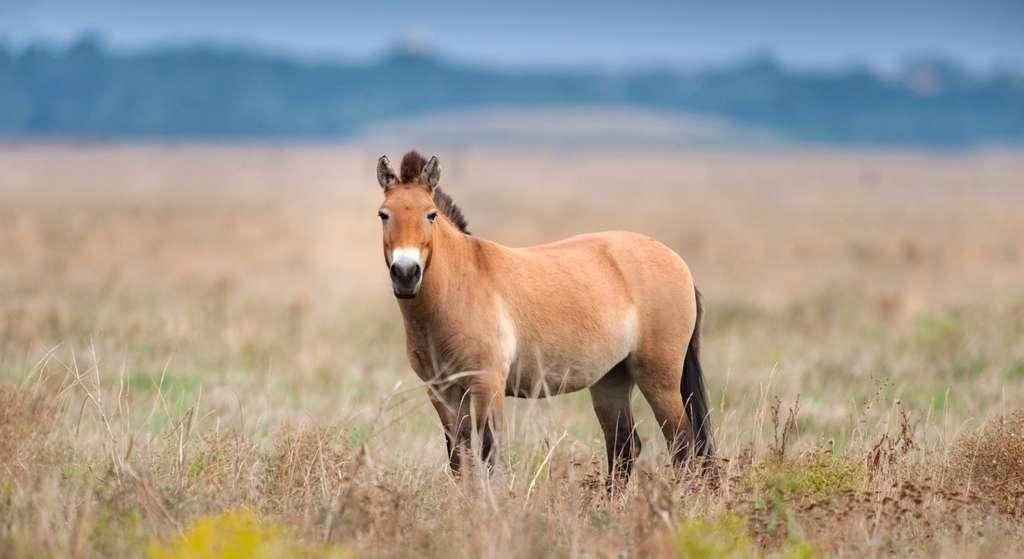 Le cheval de Przewalski est le descendant sauvage des premiers chevaux jamais domestiqués. © kwadrat70, Fotolia