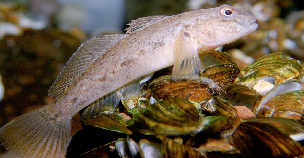 Que savez-vous de la nutrition des poissons ? Ici, un gobie à taches noires. © Eric Engbretson, U.S. Fish and Wildlife, DP