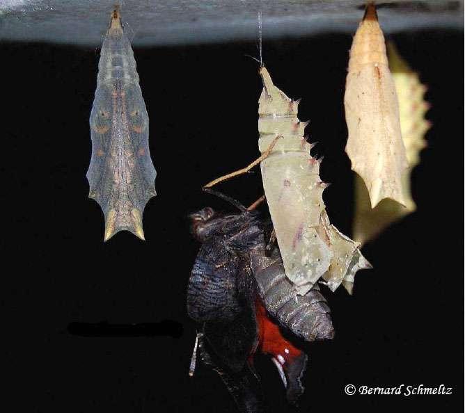 Papillon Paon-du-jour huit jours après chrysalidation. © Bernard Schmeltz