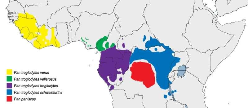 Carte de répartition des chimpanzés communs Pan troglodytes (différentes couleurs en fonction des sous-espèces) et des bonobos Pan paniscus (en rouge) en Afrique. © Cody.pope, Wikimedia common, DP
