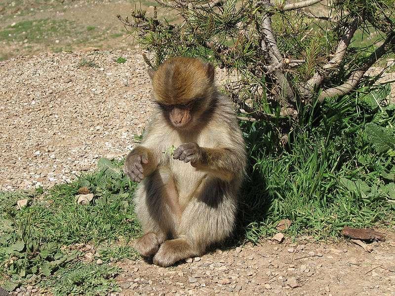 Macaque berbère botaniste. © lin padgham, CC by 2.0