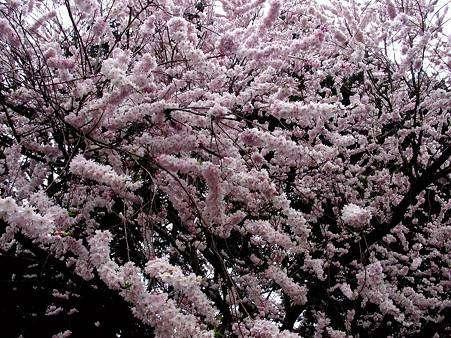 Le cerisier d'hiver peut atteindre 7 mètres de haut. © DR