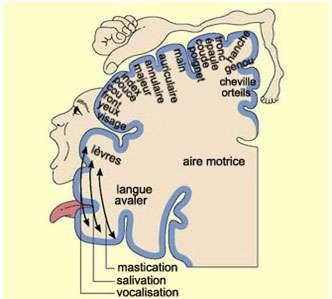 Projection du corps dans l'aire motrice primaire (somatotopie). Source : http://lecerveau.mcgill.ca/flash/i/i_06/i_06_cr/i_06_cr_mou/i_06_cr_mou.html
