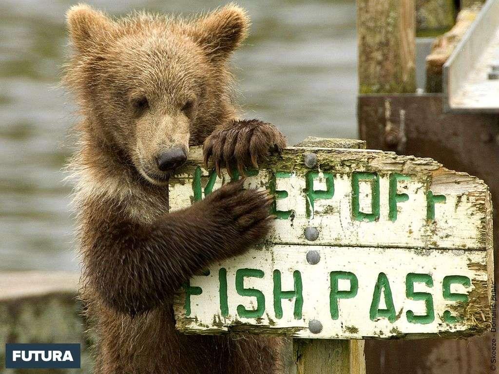 Ourson très affamé en quête de poissons...