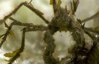 Macropodia rostrata. © C. König, tous droits réservés