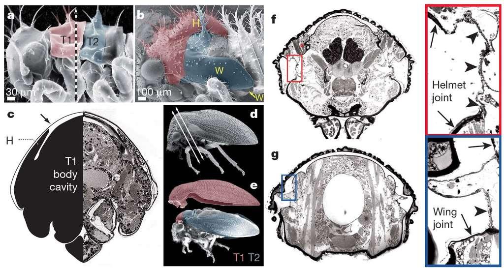 En a et b, les images au microscope électronique à balayage de deux stades nymphaux (espèce Publilia sp.) : on repère les futures ailes (en bleu, marquées W) sur le segment 2 du thorax (T2) et le casque (en rose, marqué H) sur le premier segment (T1). En d et e, ces structures se sont formées. L'image c est une coupe du thorax de la nymphe, où l'on devine le casque (H). En f et g, les coupes (correspondant aux flèches de l'image d) montrent les articulations du casque (helmet joint) et d'une aile (wing joint). © Benjamin Prud'homme et al./Nature