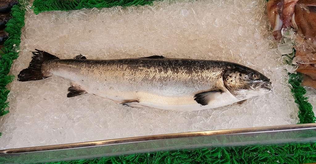 Saumon d'élevage. © DCChefAnna, CCO