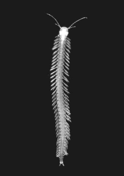 Le rémipède est un crustacé plus de dix millimètres. Le Speleonectes tulumensis est le seul répimède venimeux, et vit exclusivement dans les caves du Yucatán. Les Speleonectes comptent 15 espèces comme ici en photo le Speleonectes tanumekes. © Joris van der Ham, Wikipédia, cc by 2.5