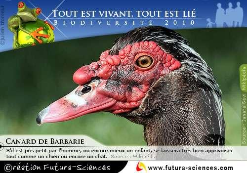 Biodiversité : Canard de barbarie