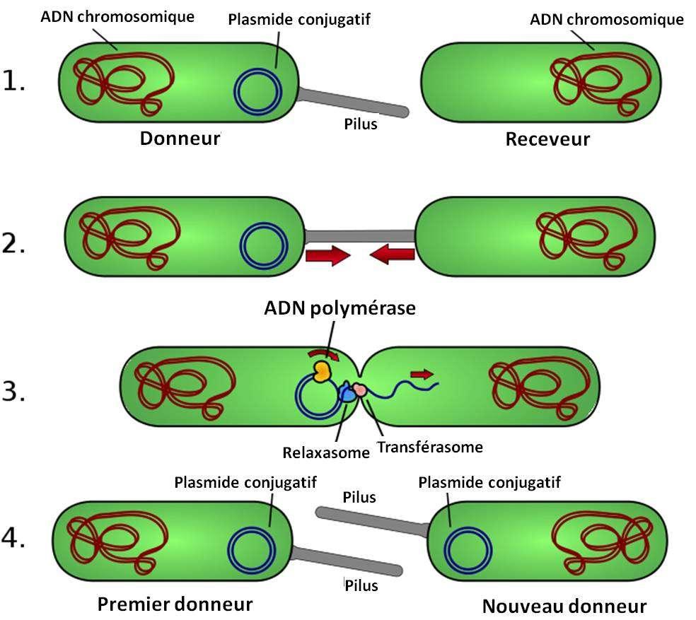 Le phénomène de conjugaison. Une bactérie porteuse d'ADN sous forme chromosomique (en rouge) et sous forme d'un plasmide conjugatif (en bleu) peut servir de donneuse d'instructions génétiques. Le plasmide conjugatif code la formation d'un pilus qui va amarrer la bactérie qui le contient à une autre bactérie. Ce plasmide code aussi des mécanismes moléculaires lui permettant de transférer un des brins de son ADN dans la cellule à laquelle son hôte bactérien est accroché. À la fin du processus, les instructions génétiques portées par le plasmide sont présentes dans les deux bactéries. © Adenosine, cc by sa 3.0