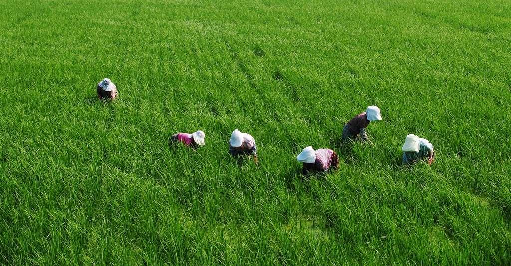Si les résultats des chercheurs de l'université de Washington se confirment, les habitants de la Birmanie, du Laos ou du Cambodge – dont l'alimentation repose essentiellement sur le riz –, notamment, pourraient être menacés de malnutrition. © ecoyou, Pixabay, CC0 Creative Commons