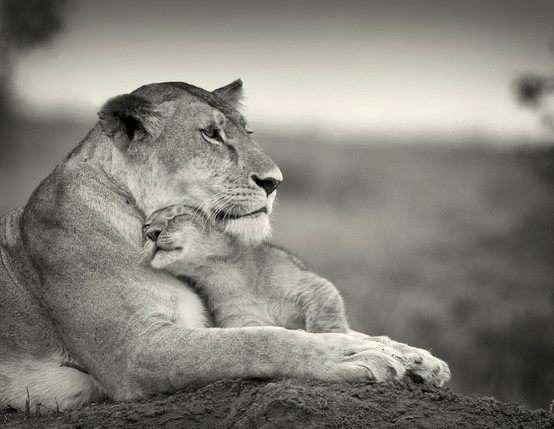 Un câlin attendrissant : une lionne et son bébé