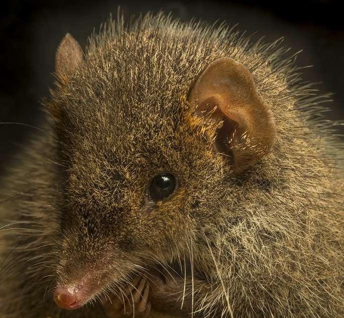 Antechinus arktos sp. nov., une nouvelle espèce de marsupiaux de la famille des dasyuridés. Elle arbore un nez rose et un pelage jaune-orangé autour des yeux. © Gary Cranitch, Queensland Museum