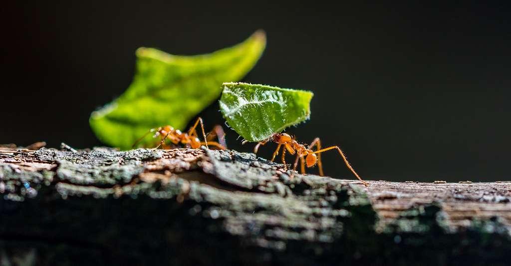 Fourmis transportant des feuilles. © Simon Dannhauer, Shutterstock