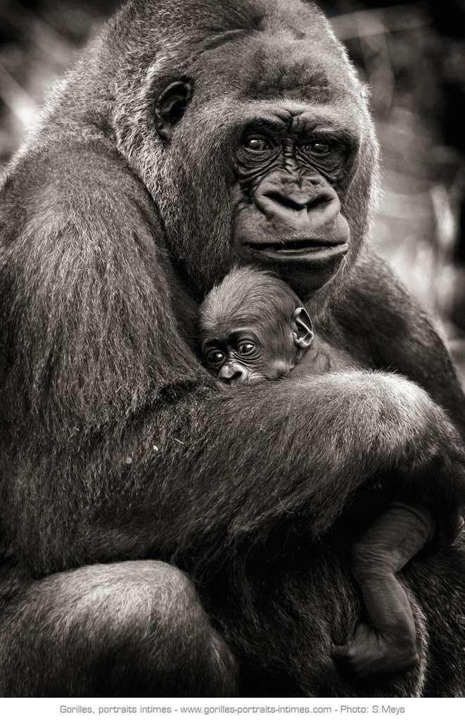 Maman gorille tenant son bébé dans les bras