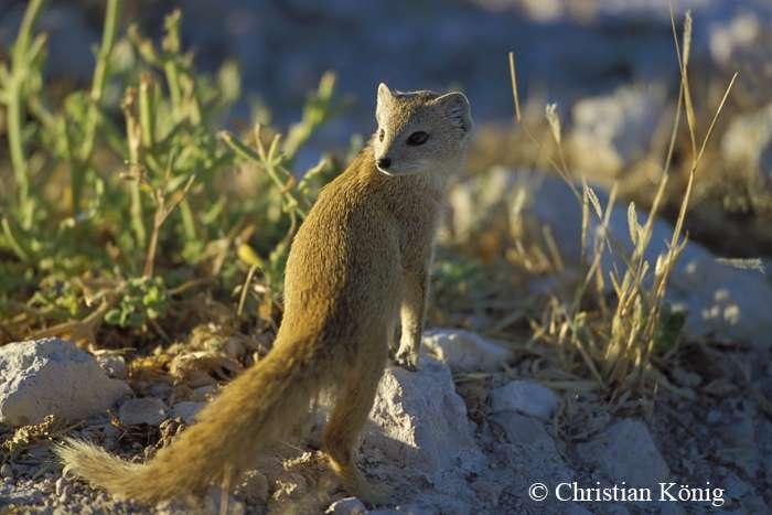 On trouve la mangouste jaune dans les zones semi-désertiques ou de savane en Afrique du Sud, en Angola, au Botswana, en Namibie et au Zimbabwe. Elle vit en colonies de 8 à 20 individus formées d'un couple reproducteur et de leur progéniture. © Christian König, DR