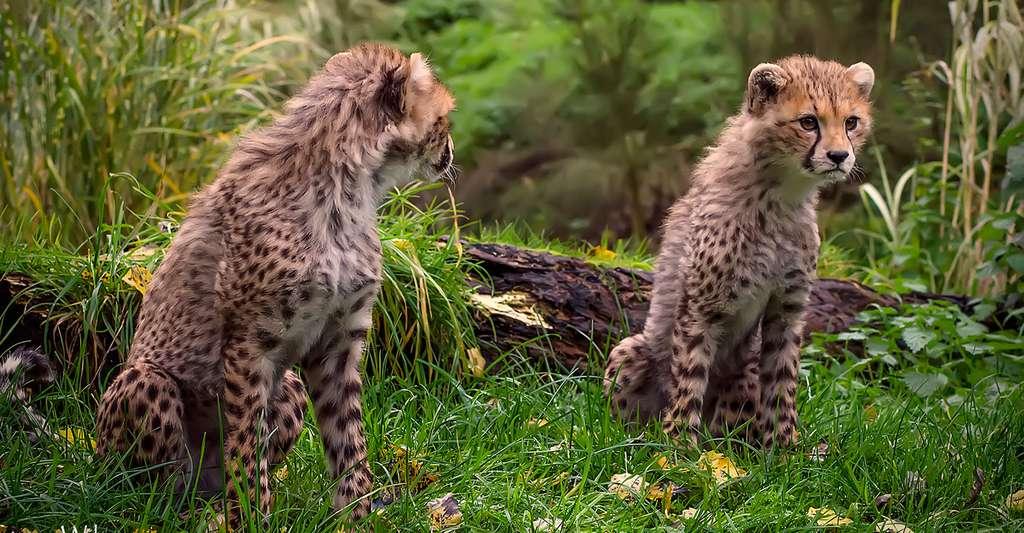 Le guépard, un animal fascinant. © Steve Wilson, CC by 2.0