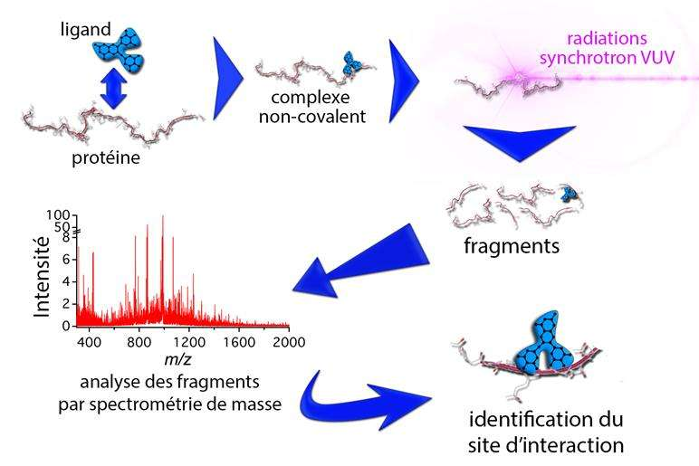 Ce schéma reprend simplement la nouvelle technique utilisée dans cette étude. En couplant la spectrométrie de masse (graphique en bas à gauche) au rayonnement synchrotron, ils ont pu observer les sites d'interaction non-covalents entre les tanins et les protéines PRP, qui sont à l'origine de l'astringence. © Inra, Francis Canon