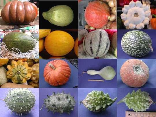 Un échantillonnage de quelques cucurbitacées remarquables par leurs couleurs et leurs formes. © J.P.Rubinstein, B.Media
