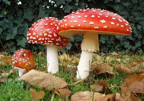 L'amanite tue-mouches (Amanita muscaria) est connue pour être un des champignons hallucinogènes. © Onderwijsgek, CC 3.0