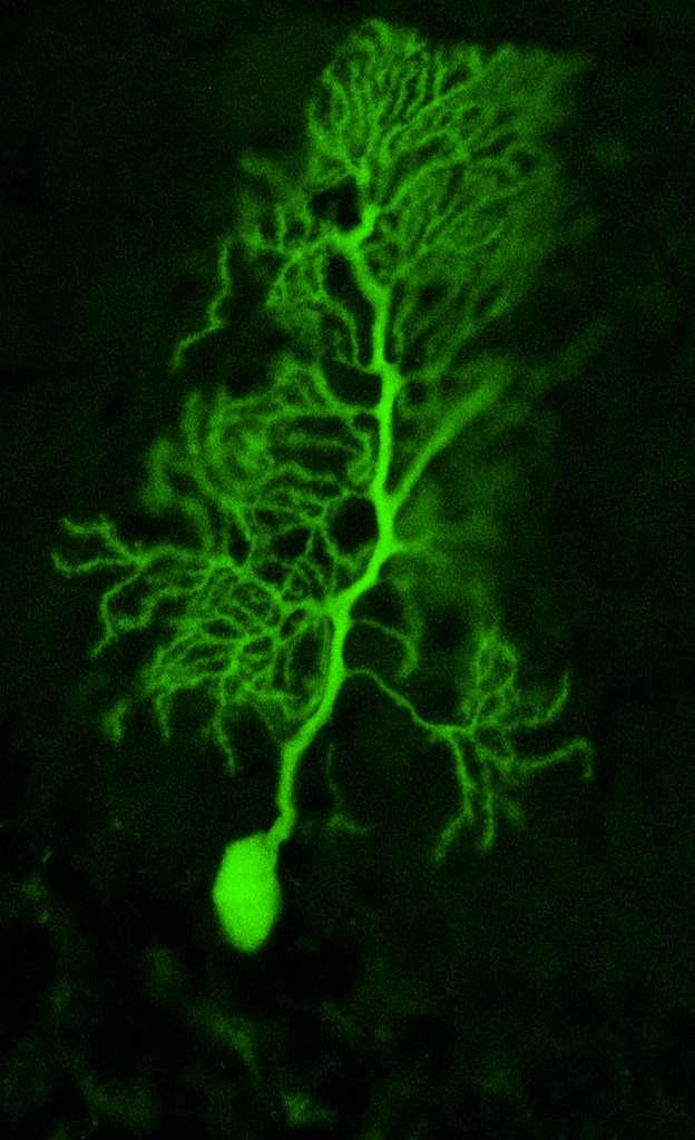 Les cellules de Purkinje, des neurones du cervelet