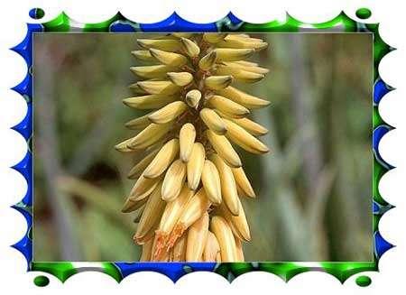L'arbre du Paradis - Musa paradisiaca