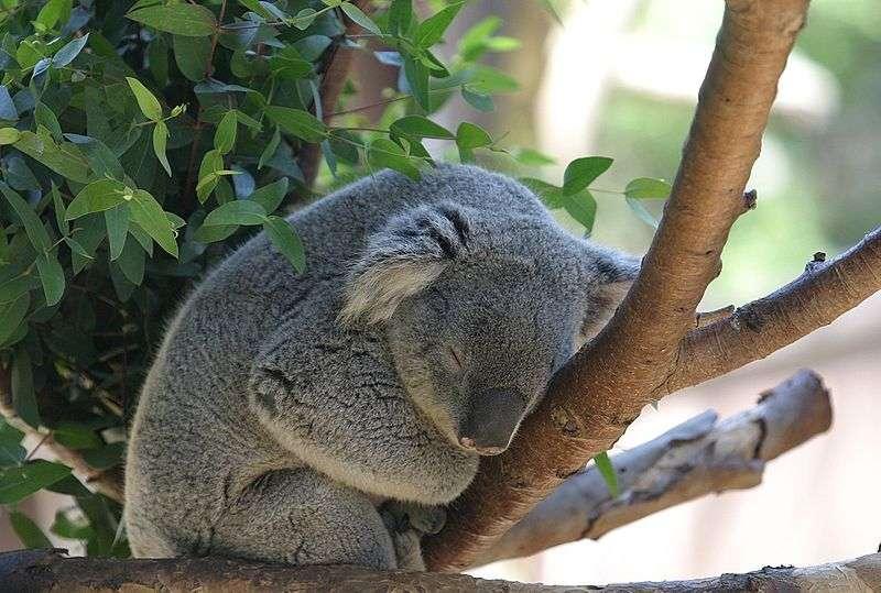 Koala qui sommeille. © Cburnett, Wikipédia, GNU 1.2