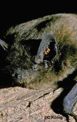 Acarien Nathusius dans l'oreille d'une Pipistrelle. © C. König, tous droits réservés