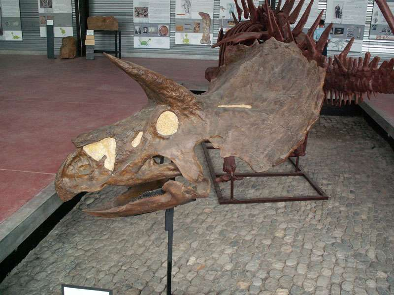 Crâne de Triceratops horridus