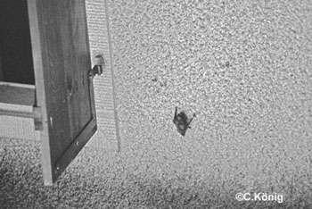 Noctule, derrière un volet. © C. König, tous droits réservés