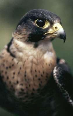 À la fin des années '50 le nombre de faucons pèlerin chuta suite à l'emploi de DDT. Depuis l'interdiction de ce produit, les populations de faucons pèlerin remontent peu à peu. © WWF Canon - Chris Martin Bahr