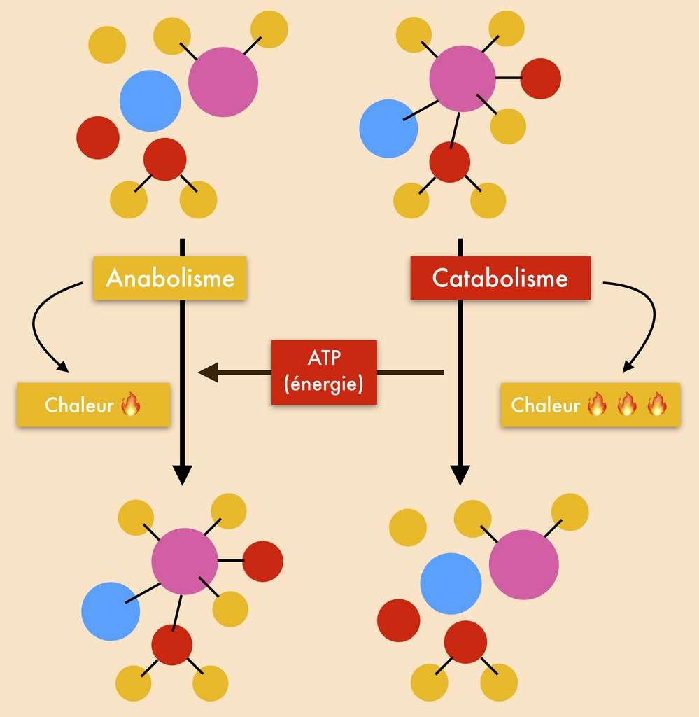 Anabolisme et catabolisme sont les deux phases inverses du métabolisme. Le catabolisme dégrade les macromolécules en dégageant de la chaleur et de l'énergie. © Céline Deluzarche, Futura