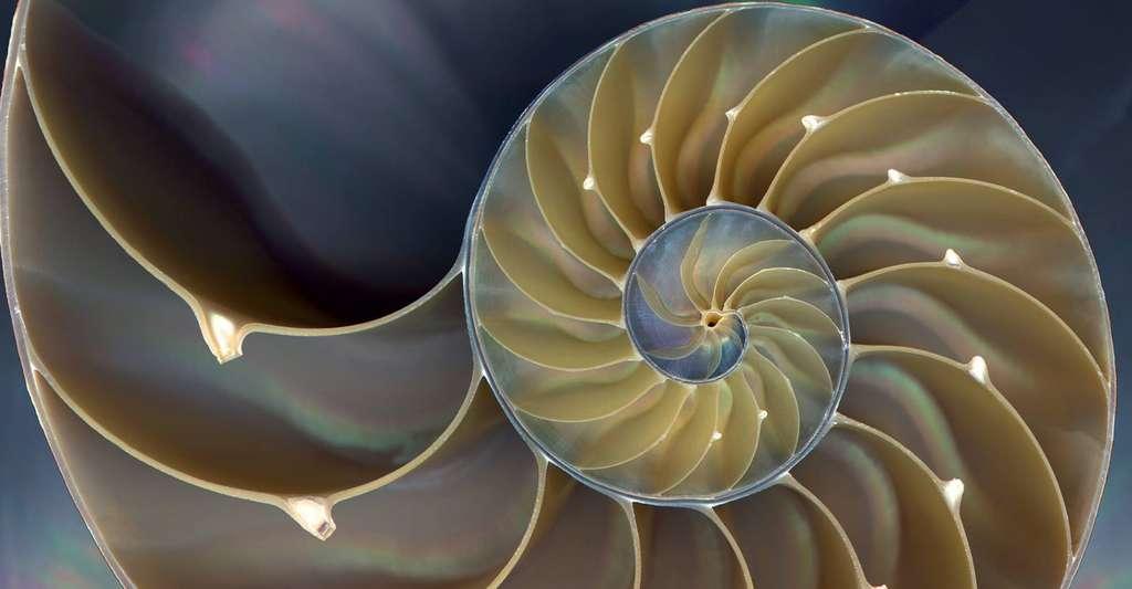 La coquille du nautile dessine une spirale logarithmique. © Domaine public