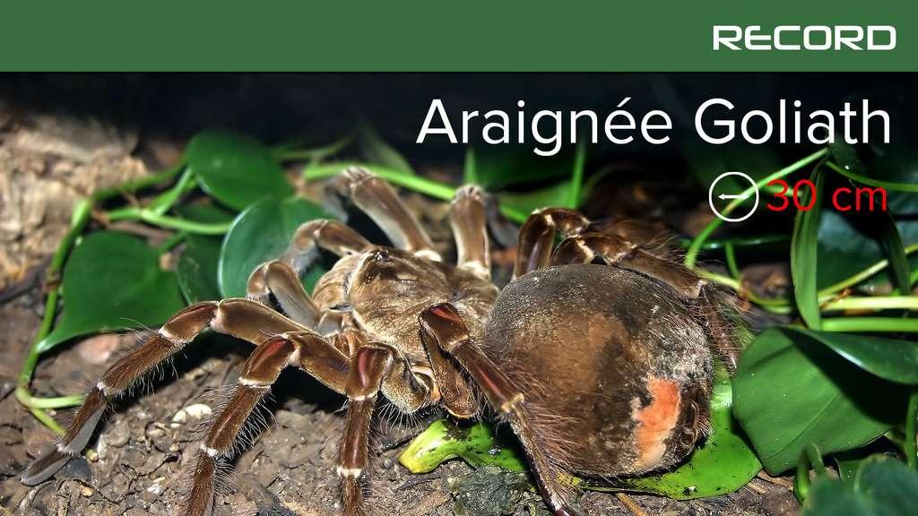 Cette mygale est la plus grande de toutes les araignées