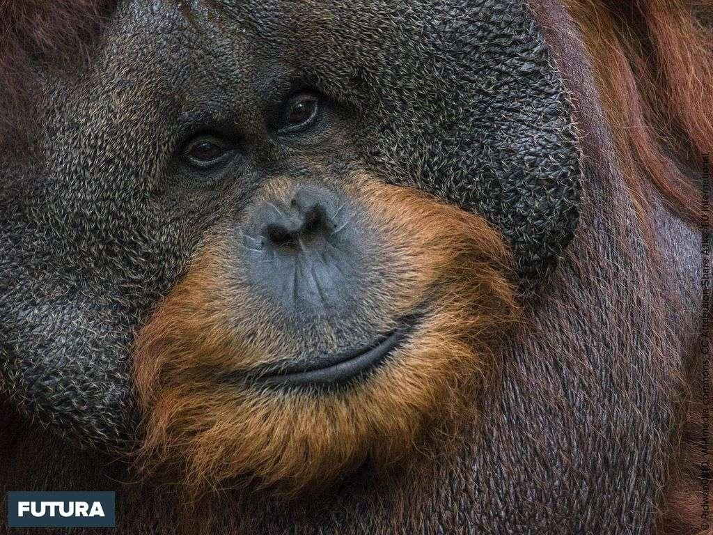 L'orang-outang est « en danger critique d'extinction : 288.500 individus en 1973 vers 47.000 en 2025.